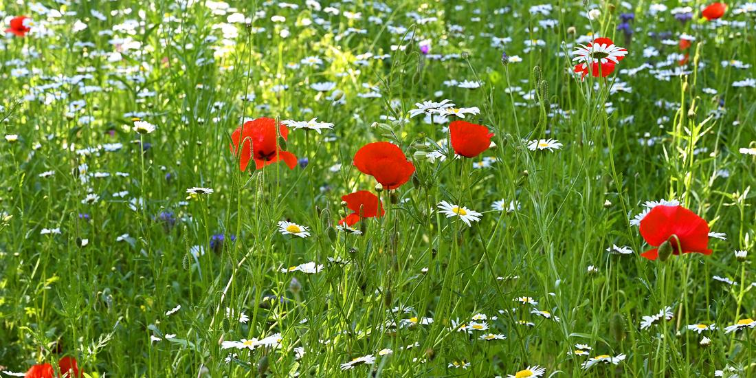How to sow wildflower seed in autumn