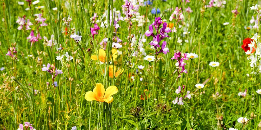 4 things to consider when sowing wildflowers