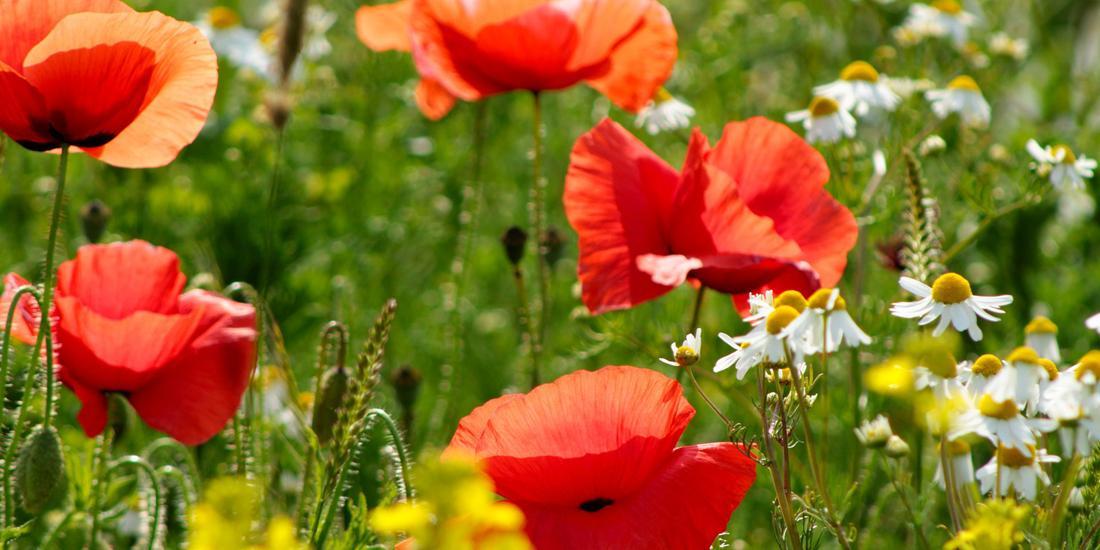 Wildflower 101: What makes a British wildflower meadow?