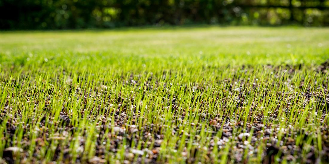 How long does grass take to grow?