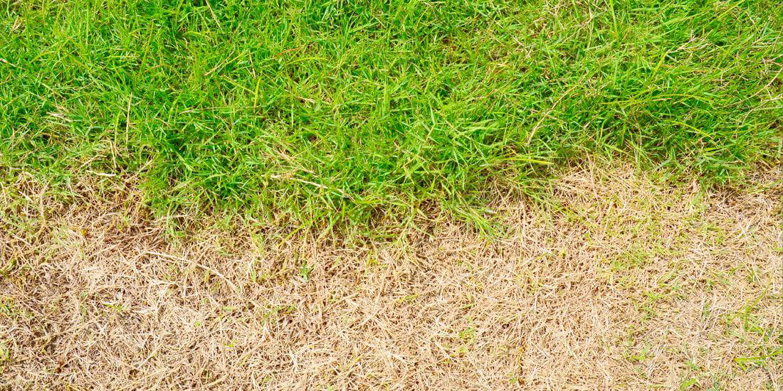 How to repair leatherjacket damage in your lawn