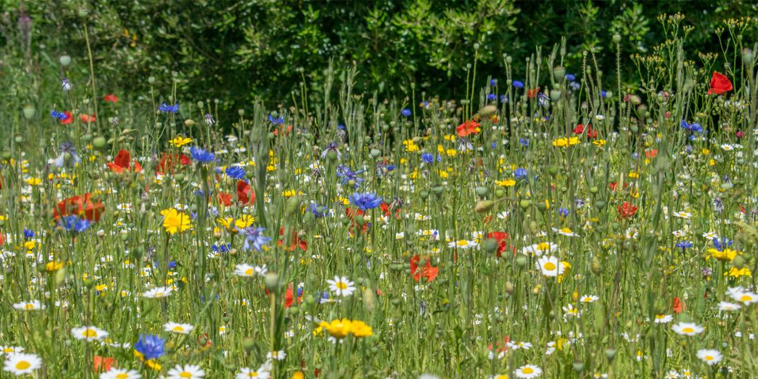 How to establish a wildflower meadow