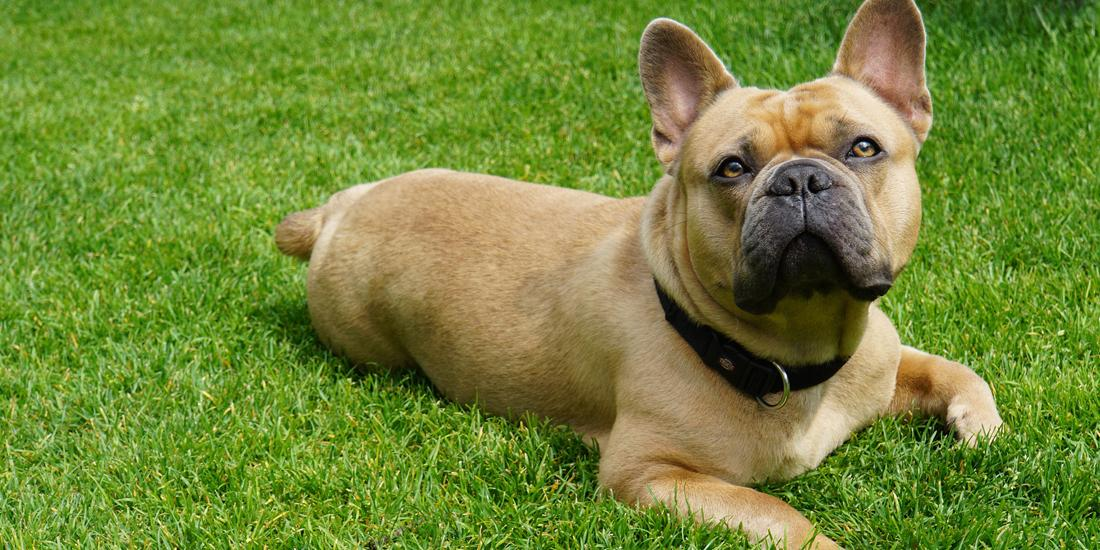 How to protect your grass from dog urine