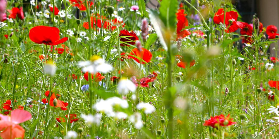 How to sow wildflower seeds in your garden