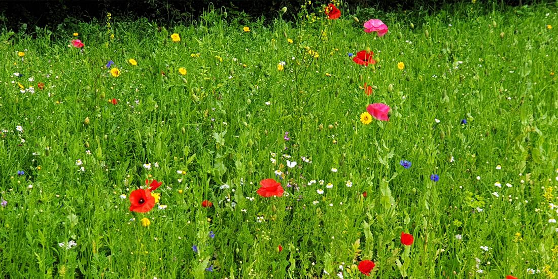 How to manage your wildflower meadow