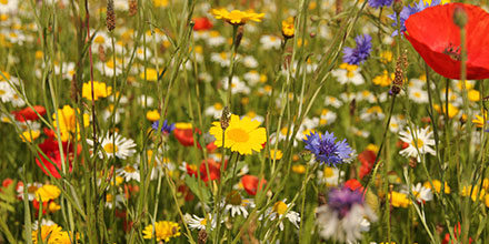 Quick Guide: How to Sow Wildflower Seed
