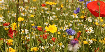 Wildflower Guide For Landscapers