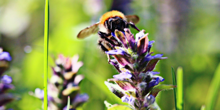 Support the Bumblebee Conservation Trust by Entering Wildflower Competition