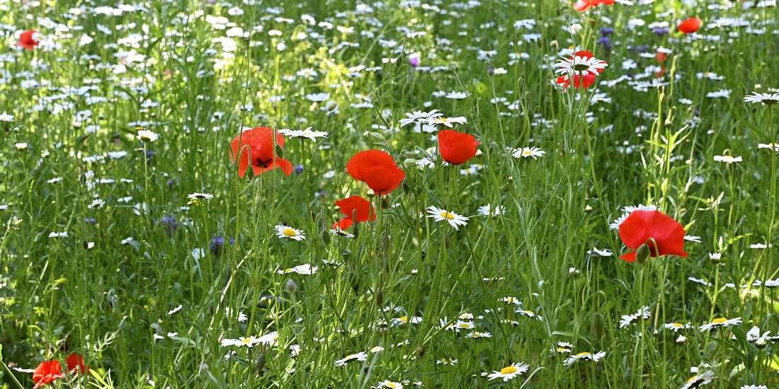 5 benefits of sowing wildflowers in autumn