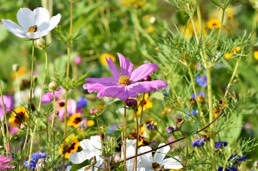 wildflower lawn
