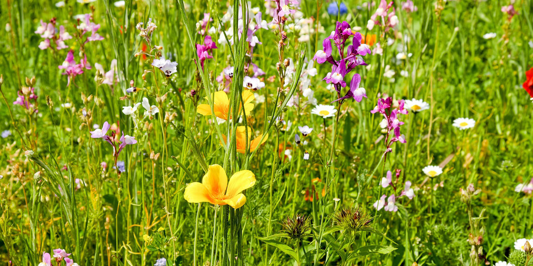 Wildflower 101: FAQ About Wildflowers