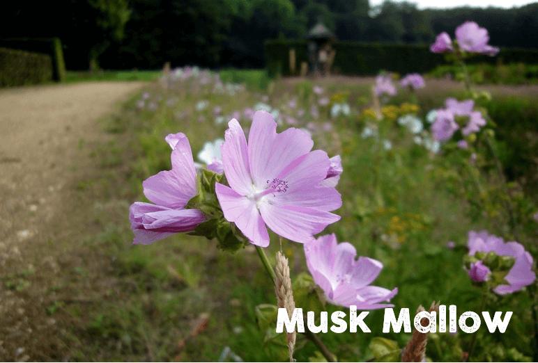 muskmallow