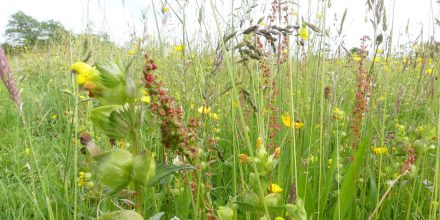 Should I add Yellow Rattle to my wildflower meadow?