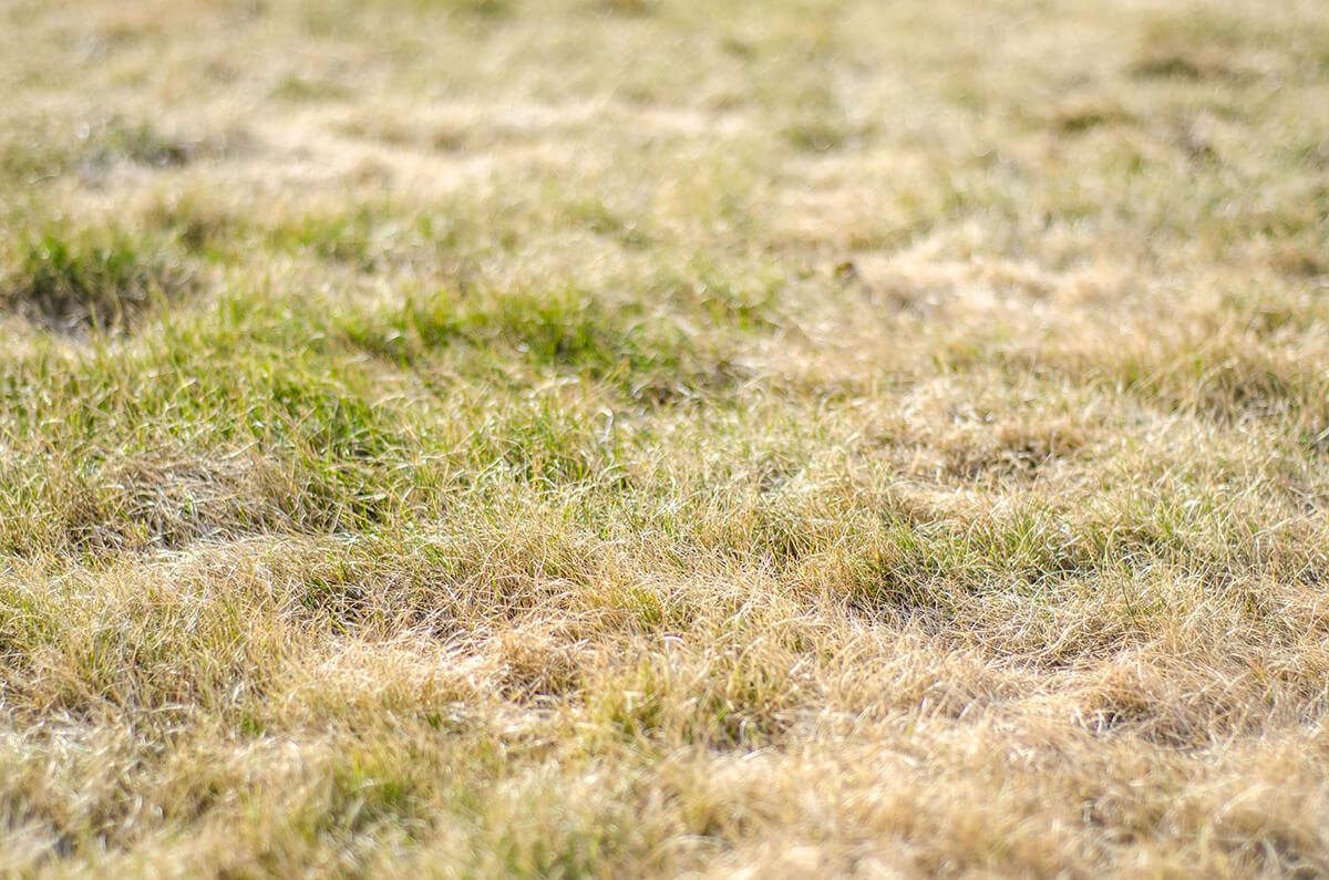 drought lawn uk