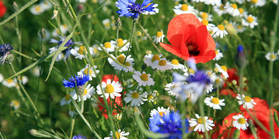 What wildflower mix should I sow?